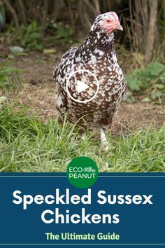 When do speckled sussex chickens start laying? What's the egg size? What are the hens like? What about the speckled sussex rooster temperament? #raisingchickens #chickens Keeping Goats, Keeping Chickens, Sussex Chicken, Raising Backyard Chickens, Chicken Breeds, Coops, Hens, Livestock, Cattle