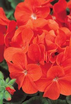 Geranium Plants - Scarlet