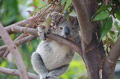You're being watched. The Koala Baby Otters, Baby Koala, Koala Bears, Koala Marsupial, Australian Animals, Cute Baby Animals, Wild Animals, Unique Animals, Cute Creatures