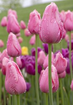 lavender tulips will always be very dear to me. the last flowers my dad sent to me (after one of my surgeries was the lavender tulips) i always try and put at least one tulip in his flower arrangements put in his graveyard vase. Purple Tulips, Tulips Flowers, Daffodils, Pretty Flowers, Spring Flowers, Pink Purple, Send Flowers, Tulips Garden, Online Florist