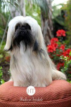 Pet Photography Shih Tzu