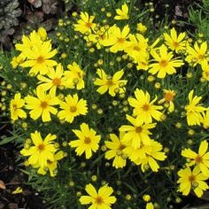 Coreopsis Citrine A wow plant - so bright, so low, so compact, and so showy. 'Citrine' impressed us with how floriferous and clean it looked all Summer long. The new flowers appear right on top of the old ones which just disappear.