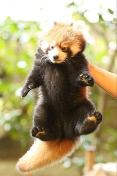 Super Cute Animals, Cute Baby Animals, Animals And Pets, Red Panda Cute, Panda Love, Panda Mignon, Cute Baby Monkey, Baby Puppies, My Spirit Animal