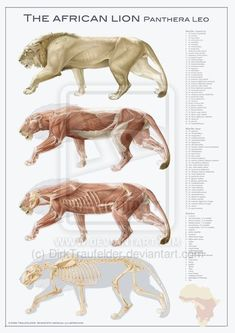 lion anatomy by DirkTraufelder on deviantART
