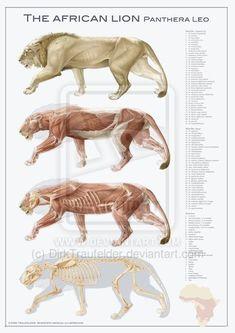 lion anatomy by DirkTraufelder on deviantART