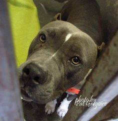 A4829406 My name is Roxy. I am a very friendly 2 yr old female blue/white pit bull mix. My owner left me here on May 12. available now NOTE: Pit bulls are not kept as long as others so those dogs are always urgent!! Baldwin Park shelter https://www.facebook.com/photo.php?fbid=968793253132512&set=a.705235432821630&type=3&theater