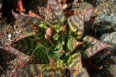 Aloe maculata. Soap Aloe.