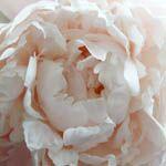Paeonia Lactiflora 'Shirley Temple', Peony 'Shirley Temple', 'Shirley Temple' Peony, Chinese Peony 'Shirley Temple', Common Garden Peony 'Shirley Temple', White Peonies, White flowers, Pink Peonies, Pink flowers, Fragrant Peonies