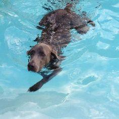 Weimies do swim!