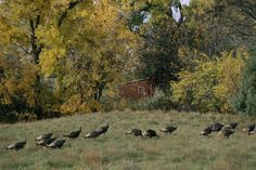 Group Of Turkeys Are Called 21