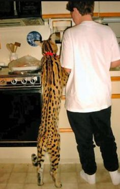 Dear Santa, can I have one of these please? It's a Serval Savannah, the biggest domestic cat in the world. Gatos Serval, Serval Cats, Siamese Cats, Kittens, Beautiful Cats, Animals Beautiful, Cute Animals, Savanna Cat, Giant Cat