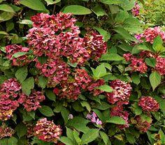 Hydrangea serrata Preziosa for bog garden