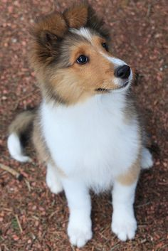 The Shetland Sheepdog originated in the and its ancestors were from Scotland, which worked as herding dogs. These early dogs were fairly Beautiful Dogs, Animals Beautiful, Cute Puppies, Dogs And Puppies, Sheep Dog Puppy, Sheep Dogs, Shetland Sheepdog Puppies, Collie Puppies, Rough Collie Puppy