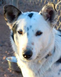 Kade - PAGE ANIMAL ADOPTION AGENCY in Page, AZ - ADOPT OR FOSTER Young Neutered…
