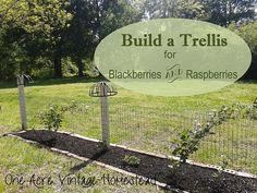 Build a Blackberry & Raspberry Trellis from One Acre Vintage Homestead  #berrytrellis
