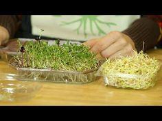 Cosecha de Germinados, Cosecha de Vida- TvAgro por Juan Gonzalo Angel - YouTube Growing Vegetables At Home, Baked Camembert, Plant Magic, Organic Farming, Seaweed Salad, Hydroponics, How To Dry Basil, Sprouts, Spices