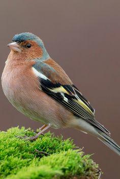 About Wild Animals: A beautiful chaffinch Small Birds, Little Birds, Colorful Birds, Exotic Birds, Polo Sul, Polo Norte, Pretty Birds, Love Birds, Beautiful Birds