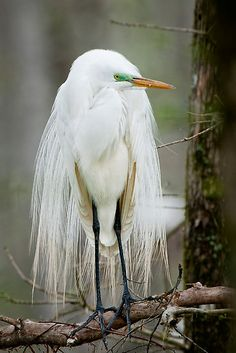 ~~Great White Egret in Wedding Finery by Bonnie T. Barry~~