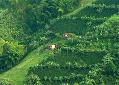 Colombian Coffee Fields ranked second in the world for largest coffee producing region. Colombian Coffee, I Love Coffee, South America, Fields, Golf Courses, Country Roads, World, Places, Travel