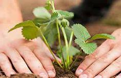 Plantarea-capsunilor Strawberry Plant Care, Strawberry Beds, Strawberry Garden, Love Garden, Garden Care, Greenhouse Gardening, Gardening Tips, Street Trees, Stock Image