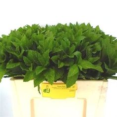 Mentha (Mint) is a lovely scented green variety. 50cm tall & wholesaled in 20 stem wraps.