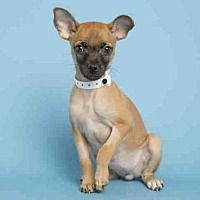 Pictures of TINKER a Chihuahua for adoption in Phoenix, AZ who needs a loving home.