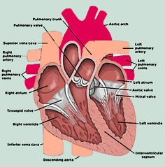 Side diagram of the heart steam diagrammatic illustration human heart anatomy ccuart Images
