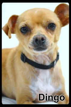Meet Dingo a Petfinder adoptable Chihuahua Dog | Simi Valley, CA | ~~~ Weight: 6 pounds 15 ounces~~~ Approximate Birth date:  5/5/08 ~~~ Please always check our website directly to see if this dog is still available.