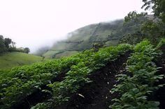 Fertile - Walking through the top of a mountain, between the pasture and the native forest, surprisingly we can find a potato crop. Only I can think in the fertile land that surround us Fertility, Land Scape, River, Mountains, Instagram, Potato, Walking, Outdoor, I Found You