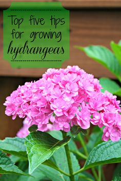 Top five tips for growing healthy hydrangeas @ thriftydecorchick.com