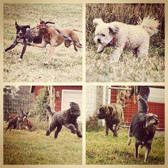 Our new arrivals running outta that Van & into the fields yesterday!! #evasplaypupsPA #dogs #dogscamp #doggievacays #flyingdogs #dogsinnature #runfree #smilingdogs #playtime #houndsofinstagram #poodlesofinstagram #mastiffsofinstagram #pitbullsofinstagram #terriersofinstagram #dogsofinstagram #autumn #sweaterweather #endlessmountains #mountpleasant #PA #pennsylvania #badassbk #adoptdontshop #rescuedog