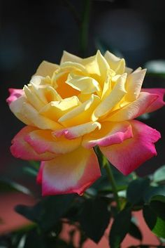 Yellow and Pink Rose ~ by flowersgardenlove
