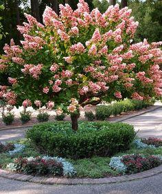 Image result for pink diamond hydrangea tree