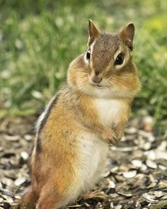 Chipmunk Strikes a Pose by John  Herd on 500px