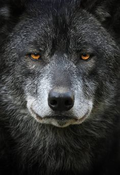 Wow now that's a very profound face! Such knowing eyes and so beautiful! Love a Wolf