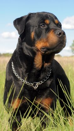 ROTTIE, IPHONE WALLPAPER BACKGROUND