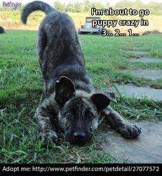 Zeus Dutch Shepherd Mix: An adopted dog in Scottsboro, AL Large • Young • Male  Zeus is a 14 week old pup whos breed we are unsure of but we think he is a Dutch Shepherd mix which means he will be a large dog! He is an energetic pup but is a sweetheart. Loves to play and gets along with other dogs .