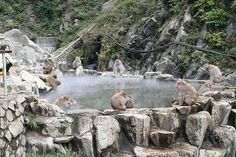 Hot Springs Monkeys at Jigokudani.  One of the coolest things I've ever done!