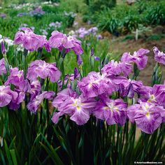 """Crystal Halo Iris produces 5-6"""" flowers with up to 3 flower buds per stalk once matured. Each flower is a beautiful deep purple with white edging.  It blooms in mid-summer and is best planted in full sun.  (Iris ensata)"""