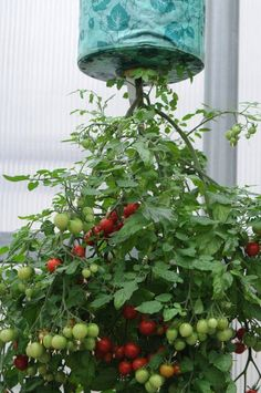 Benefits of Growing Tomatoes Upside Down I Love Tomatoes is part of Small vegetable gardens - Information on growing tomato plants upside down and what the benefits are Backyard Vegetable Gardens, Veg Garden, Tomato Garden, Vegetable Garden Design, Fruit Garden, Easy Garden, Garden Pots, Balcony Gardening, Herb Planters
