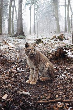 ~ John Bozinov - Lynx
