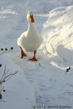 Cute white duck walking in the snow. This duck reminds me of a stuffed animal duck I had as a young girl 😍 Farm Animals, Animals And Pets, Cute Animals, Animals In Snow, Beautiful Birds, Animals Beautiful, Winter Scenery, Tier Fotos, Country Life