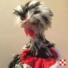 Happy holidays to you and your flock! This chicken is all decked out for flockmas. Thanks to a Purina Poultry Facebook fan for sharing this festive photo.