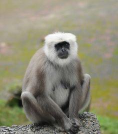monkey in Nainital Nainital, Monkey, India, Animals, Jumpsuit, Goa India, Animales, Animaux, Monkeys