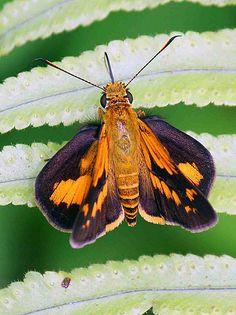 Butterfly near Senggi, Papua, Indonesia
