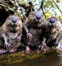 3 Beavers chillin' at the watering hole