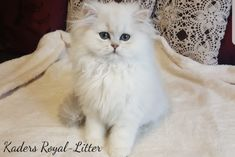 Find Cats & Kittens in Berea & Musgrave! Search Gumtree Free Classified Ads for Cats & Kittens and more in Berea & Musgrave. Kitten For Sale, Chinchillas, Cat Breeds, Cats And Kittens, Persian, South Africa, Adoption, Long Hair Styles, Animals