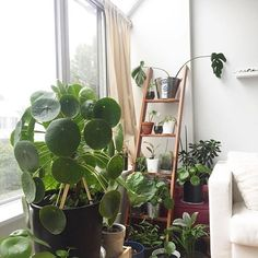 @pileanursery_vancouver's beautiful big girl, plus lots of babies  Plants for sale in Canada! . Get your pilea peperomioides, in Australia, for sale at www.pileaplace.com Tag #pileaplace to be featured :)