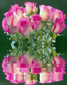 Pink Roses Reflection