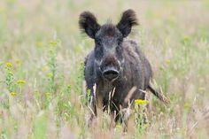 Natuur foto: Sus Scrofa / Wild zwijn / Wild boar